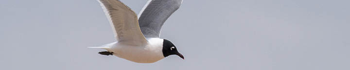 Franklin's Gull, photographed by Benjamin Van Doren