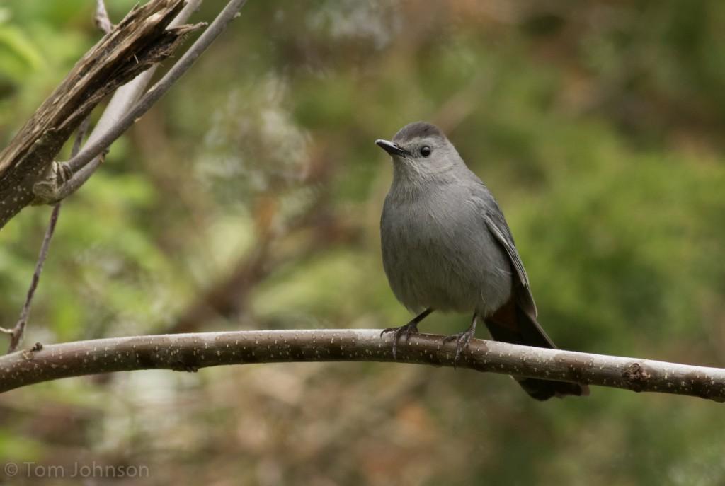 Gray Catbird, one of many present in Cape May, NJ on 2 May. Tom Johnson/Macaulay Library. eBird S29362490