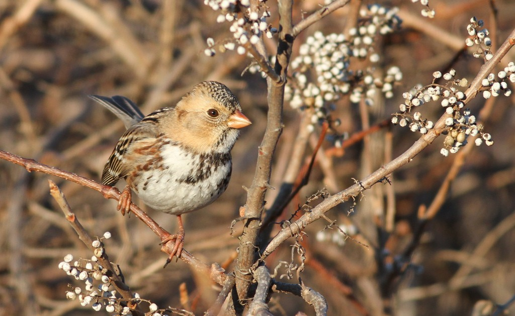 Harris' Sparrow, © Ian Davies