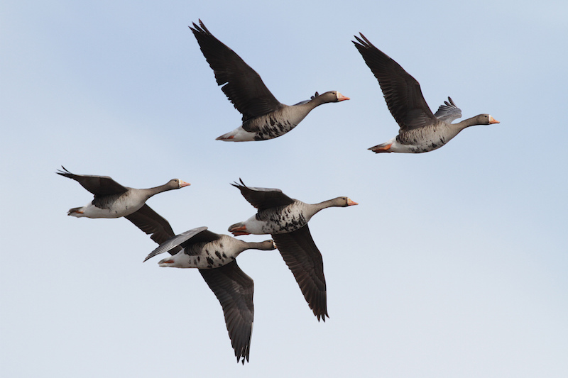 Greater White-fronted Geese, Ian Davies