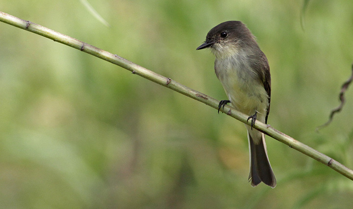 Eastern Phoebe, photographed by Ian Davies