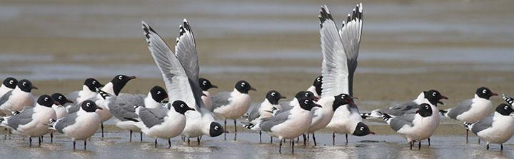 Franklin's Gulls © Benjamin Van Doren