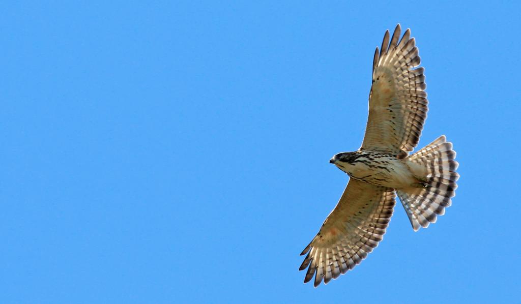 Broad-winged Hawk. © Ian Davies