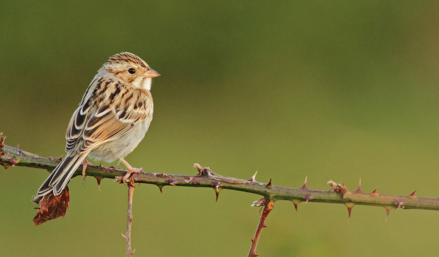Clay-colored Sparrow. © Ian Davies