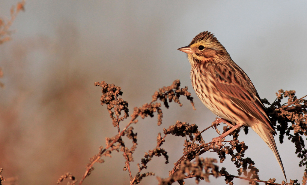 Savannah Sparrow. © Ian Davies