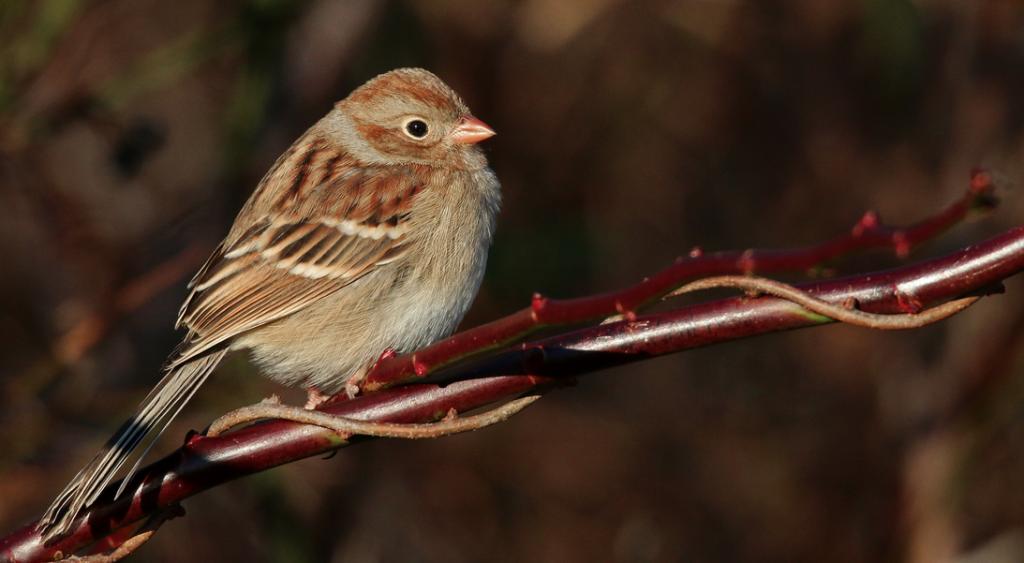 Field Sparrow, © Ian Davies