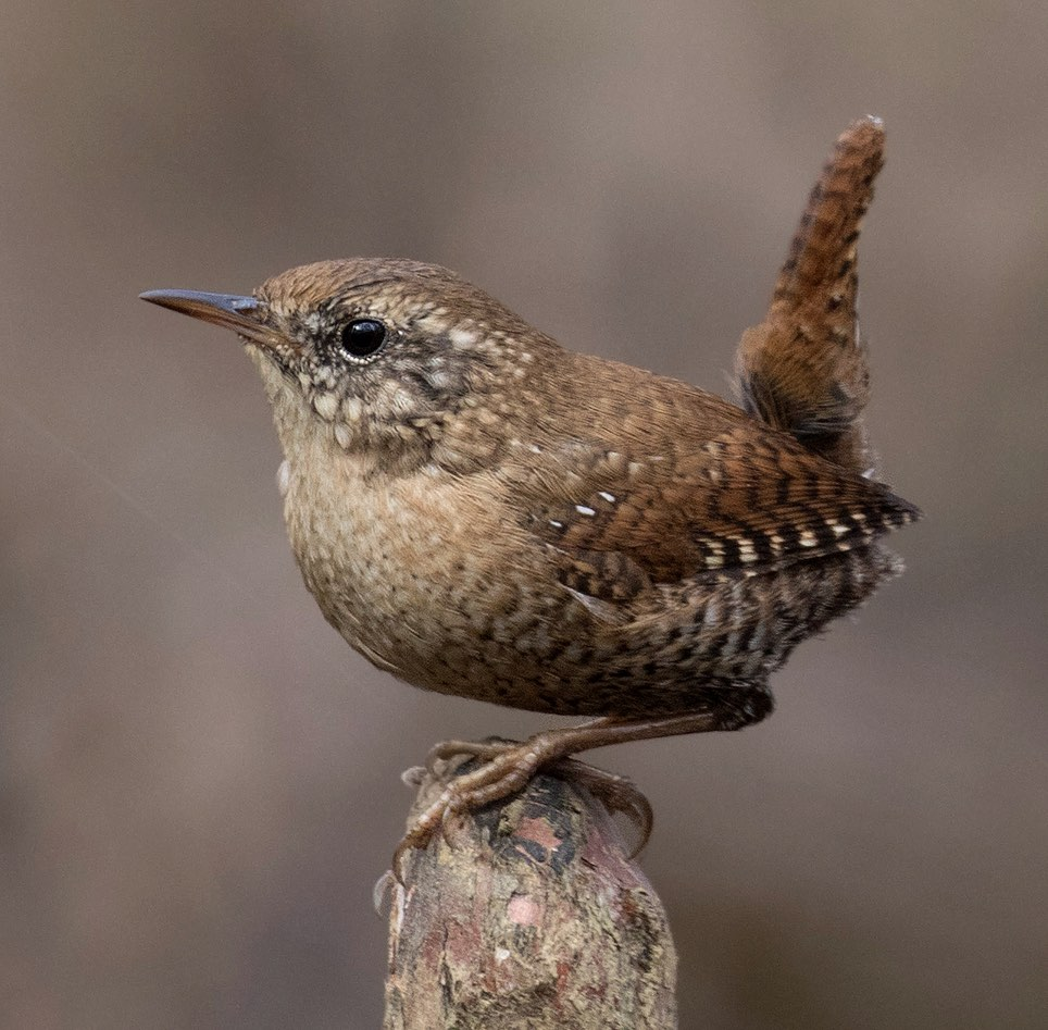 Winter Wren. Mark Johnson/Macaulay Library. 15 Mar 2016 eBird S28242384, ML 25763621