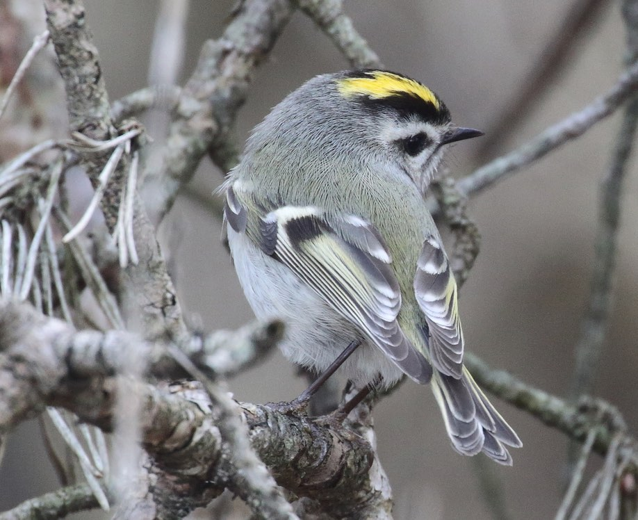 Golden-crowned Kinglet. Teri Zambon/Macaulay Library. 9 Mar 2016 eBird S28071915, ML 25814551