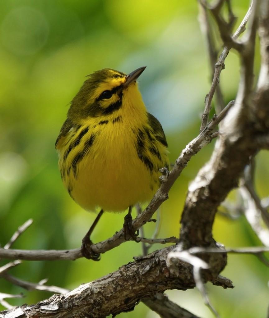 Prairie Warbler. Teri Zambon/Macaulay Library. 9 Mar 2016. eBird S28071915, ML 25645611
