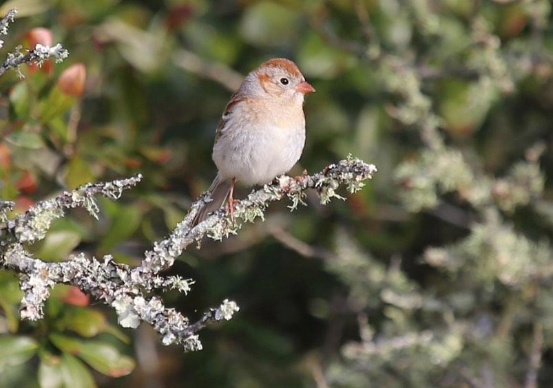 Field Sparrow. Rob Bielawski/Macaulay Library. 13 Mar 2016 eBird S28136487ML 25715601