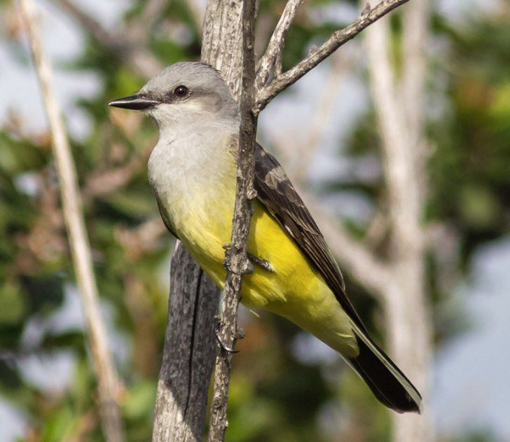 Western Kingbird. Jeff Bray/Macaulay Library. 14 Mar 2016 eBird S28225152 ML 25723981