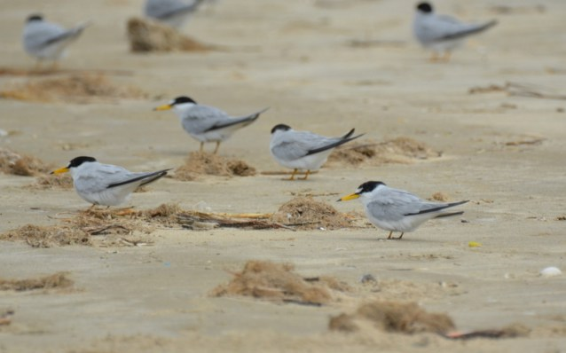 Least Tern. Jeff Sexton/Macaulay Library. 19 Mar 2016 eBird S28436080, ML 25908831