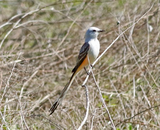 Scissor-tailed Flycatcher. Kris Petersen/Macaulay Library 22 Mar 2016 eBird S28487748, ML 26117991