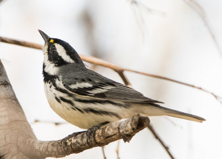 Black-throated Gray Warbler. Sue Barth/Macaulay Library 18 Mar 2016 eBird S28410885, ML 25943771