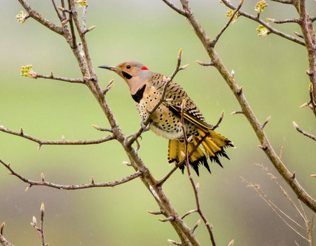 Northern Flicker (Yellow-shafted). Charles Shields/Macaulay Library. 1 Apr 2016. eBird S28677970