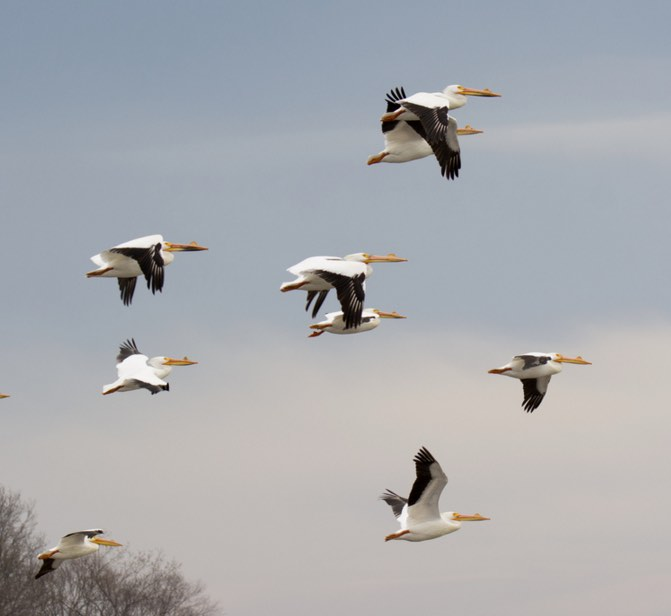 American White Pelican. Jack Foreman/Macaulay Library. 26 Mar 2016. eBird S28617303