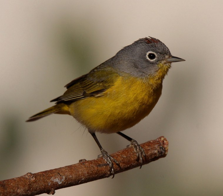 Nashville Warbler. Tony Battiste/Macaulay Library. 28 Mar 2016. eBird S28606953