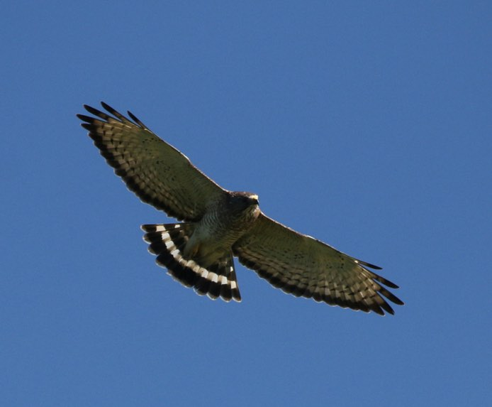 Broad-winged Hawk. James Rieman/Macaulay Library. 5 Apr 2016. eBird S28769302