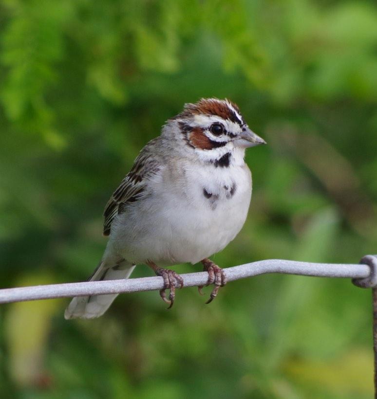 Lark Sparrow. Simon Kiacz/Macaulay Library. 6 Apr 2016. eBird S28786946