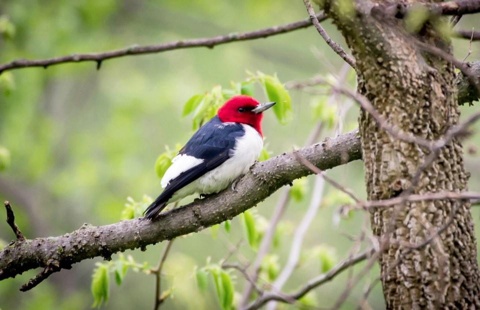 Red-headed Woodpecker. Charles Shields/Macaulay Library. 28 Apr 2016. eBird S29263401