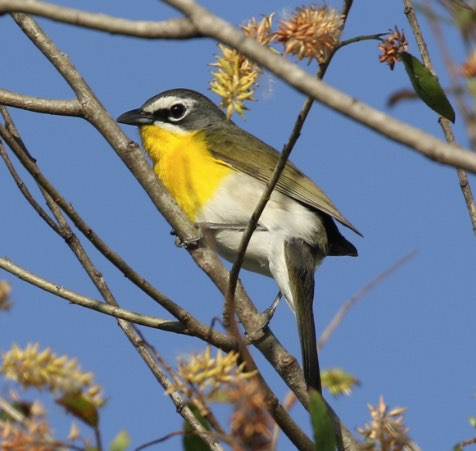 Yellow-breasted Chat. C. Jackson/Macaulay Library. 24 Apr 2016. eBird S29176011