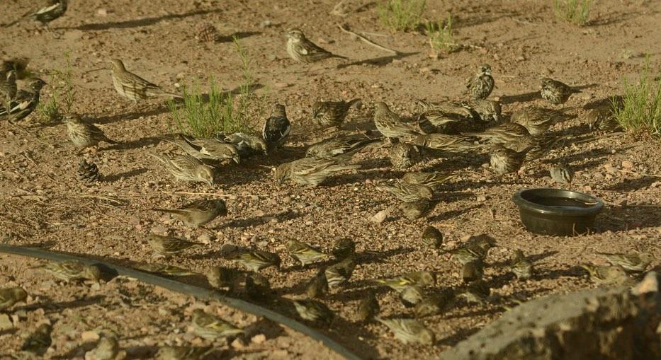 Lark Buntings, with Pine Siskens and White-crowned Sparrow. Kathleen & Hal Robins/Macaulay Library. 8 Apr 2016. eBird S28818089