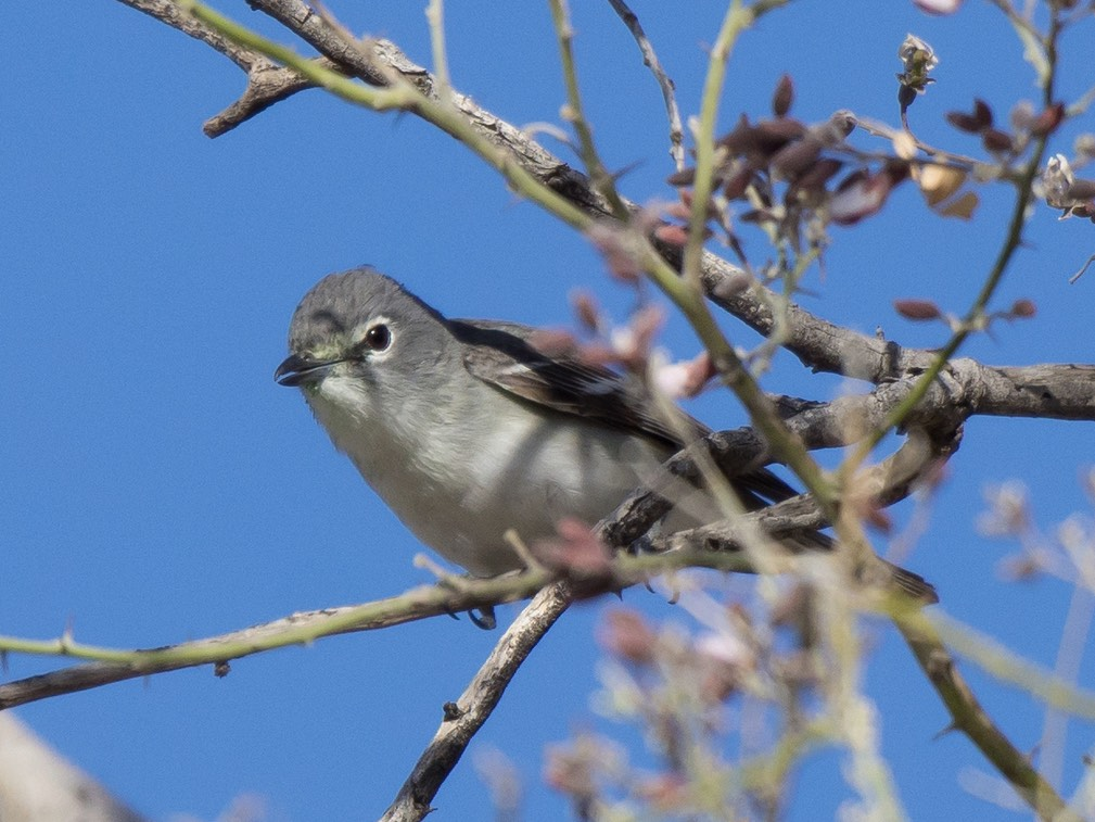 Plumbeous Vireo. Gordon Karre/Macaulay Library. 2 May 2016. eBird S29357013
