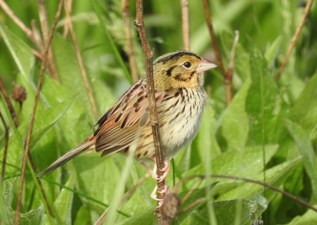 Henslow's Sparrow. Kurt Schwarz/Macaulay Library. 19 May 2016. eBird S29778887