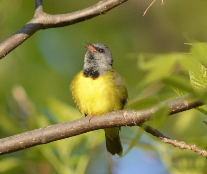 Mourning Warbler. Carl Winstead/Macaulay Library. 19 May 2016. eBird S29775850