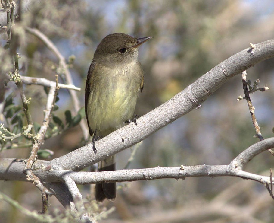 Willow Flycatcher. Curtis Marantz/Macaulay Library. 6 May 2016. eBird S29545941