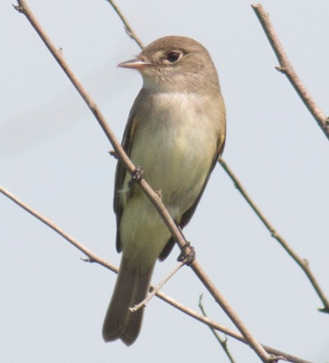 Willow Flycatcher. David Brown/Macaulay Library. 26 May 2016. eBird S29917824