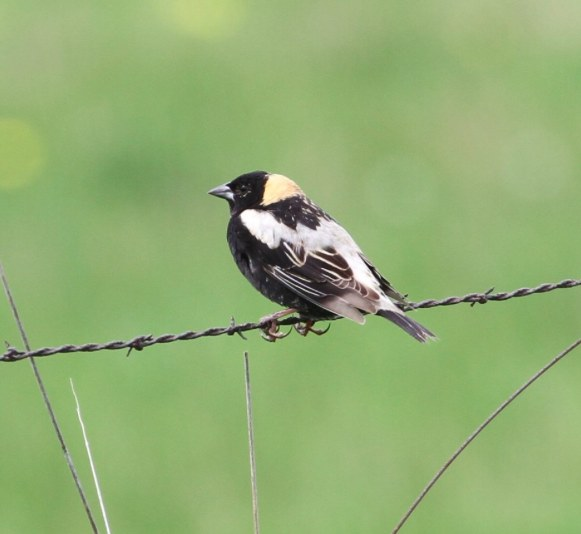 Bobolink. Don Coons/Macaulay Library. 16 May 2016. eBird S29702099
