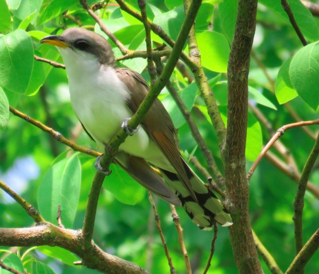 Yellow-billed Cuckoo. JamEs ParRis/Macaulay Library. 25 May 2016. eBird S29911144