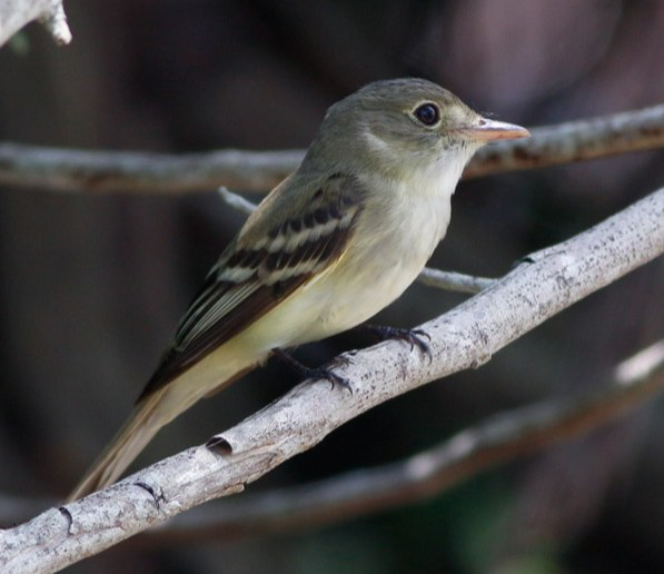 Acadian Flycatcher. Kris Petersen/Macaulay Library. 17 May 2016. eBird S29748049