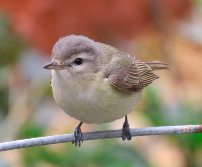Warbling Vireo. Thomas Hinnebusch/Macaulay Library. 9 May 2016. eBird S29519221