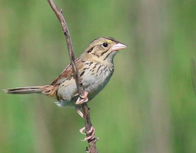 Henslow's Sparrow. Aaron Brees/Macaulay Library. 29 May 2016. eBird S29969406