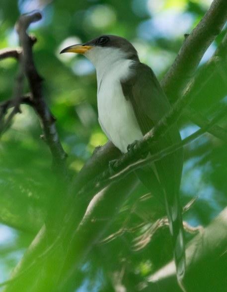 Yellow-billed Cuckoo. Robert Jilek/Macaulay Library. 31 May 2016. eBird S30008637