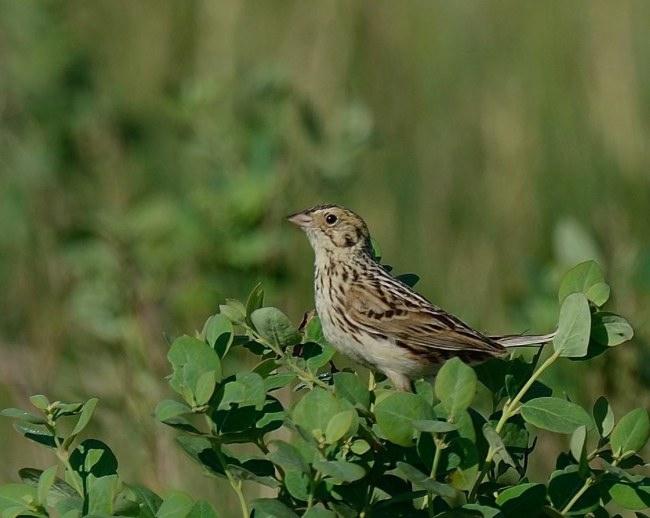 Baird's Sparrow. Steve Morytko/Macaulay Library. 28 May 2016. eBird S29953711