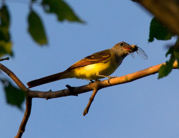 Great Crested Flycatcher, eBird S31232121, Lorri Howski/Macaulay Library.