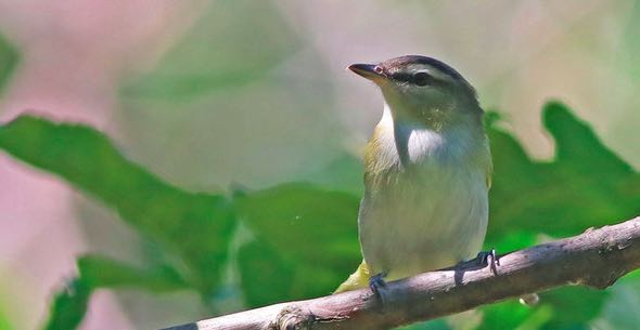 Red-eyed Vireo, eBird S31211132, Debbie Parker/Macaulay Library.