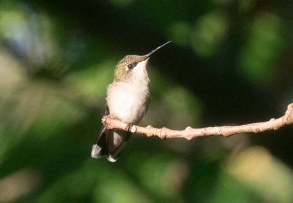 Ruby-throated Hummingbird, eBird S31222657, Steve Kelling/Macaulay Library.