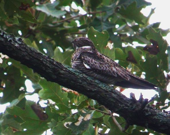 Common Nighthawk, Nick Anich/Macaulay Library, eBird S3075352