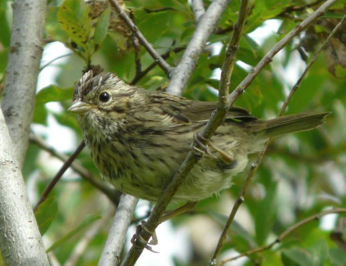 Lincoln's Sparrow. Douglas Leighton/Macaulay Library. eBird S31251992.