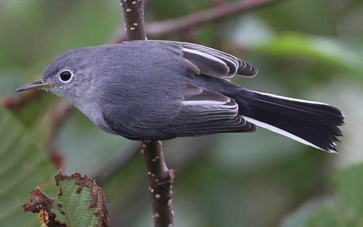 Blue-gray Gnatcatcher. Mark Dennis/Macaulay Library. eBird S31467880