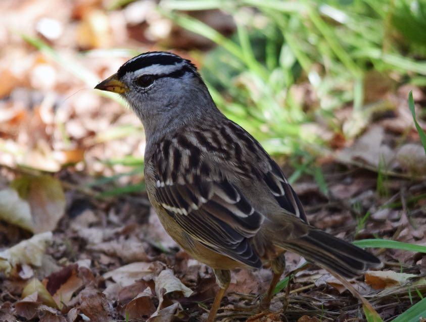 White-crowned Sparrow. Marsha Schorer/Macaulay Library. eBird S31521673