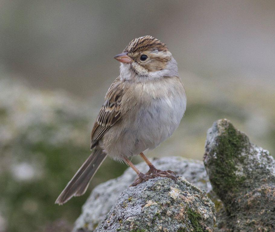 Clay-colored Sparrow. Jacob Drucker/Macaulay Library. eBird S31555727