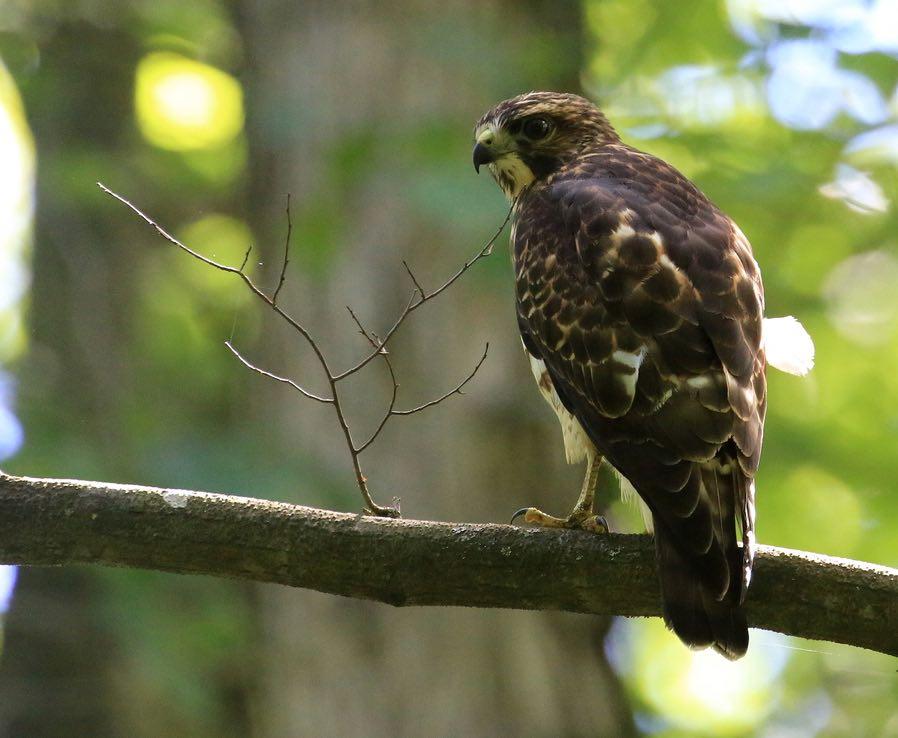 Broad-winged Hawk. Tim Lenz/Macaulay Library. eBird S31543492