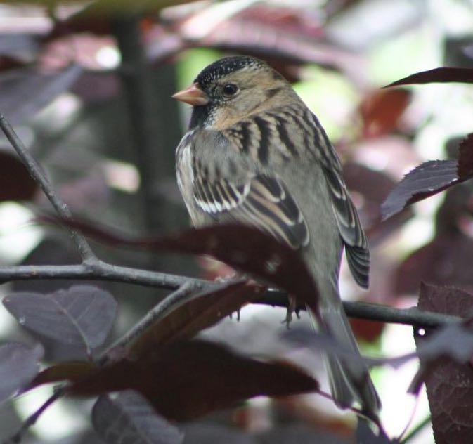 Harris's Sparrow. John Corden/Macaulay Library. eBird S31583192