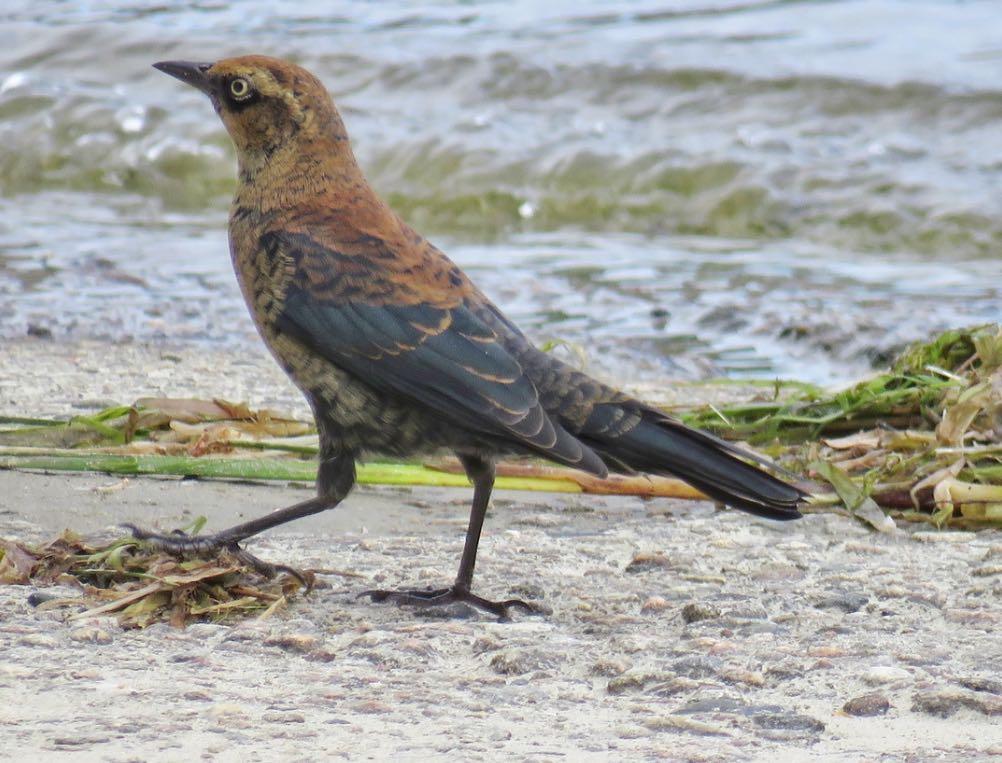 Rusty Blackbird. Lisa Cancade Hackett/Macaulay Library. eBird S31641571