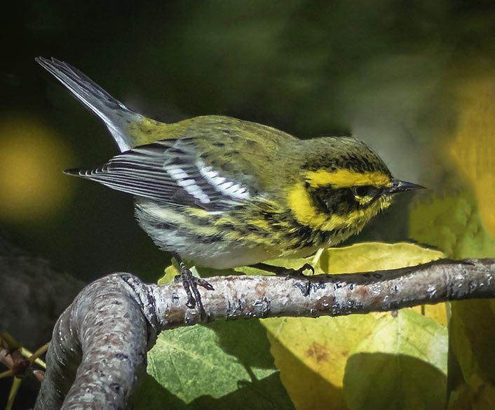 Townsend's Warbler. Brad Singer/Macaulay Library. eBird S31643465